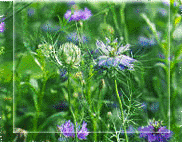Blackseed Al-Habbah Al-Sawda' Herb Plant